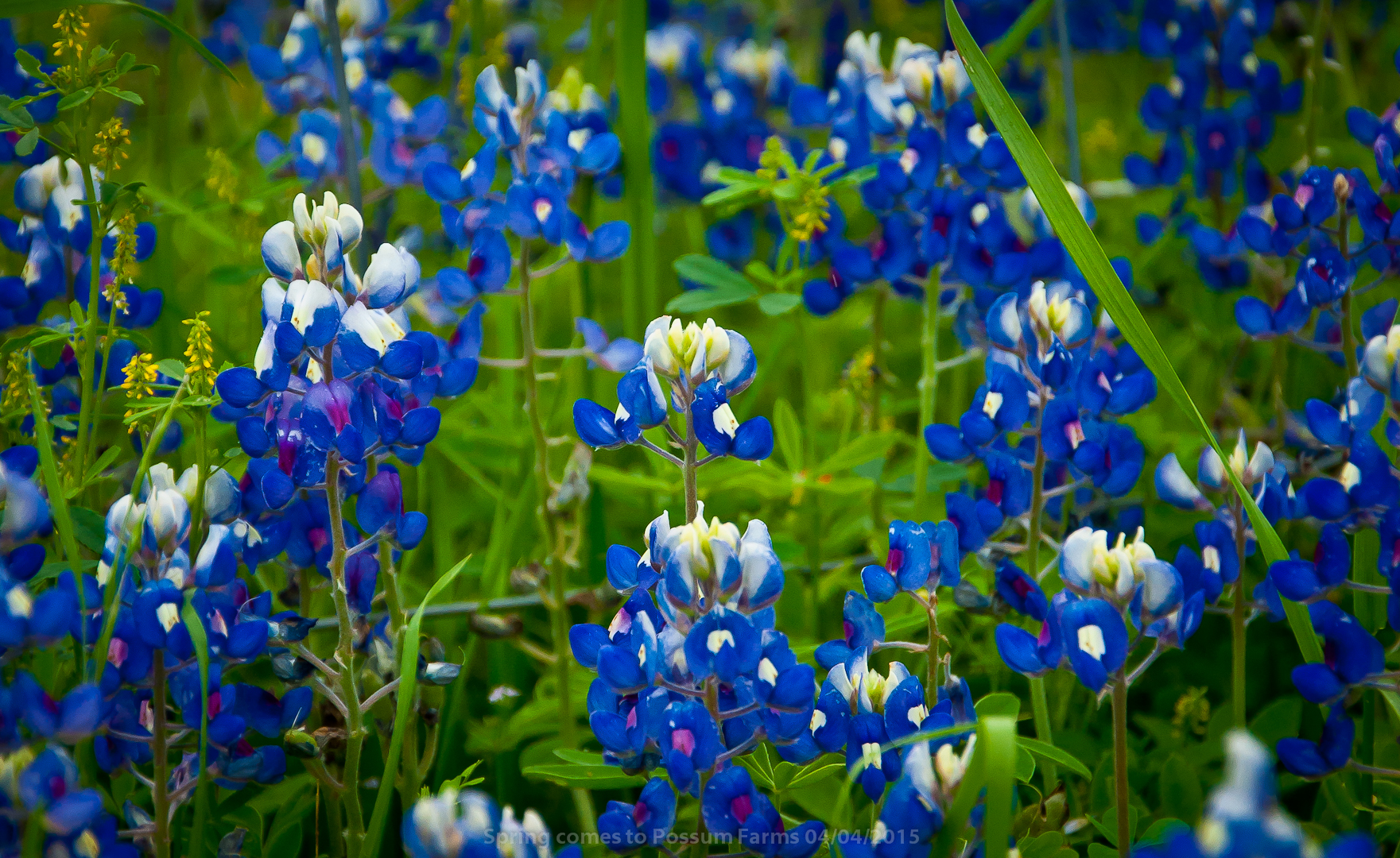 Bluebonnets in the South pasture